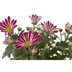 Chrysantheme-4
